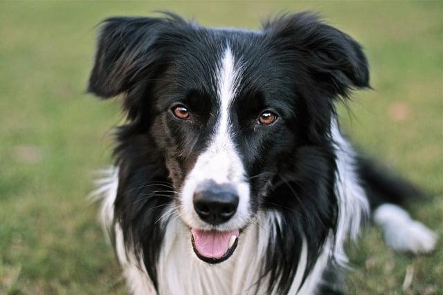 Border Collie top chien berger