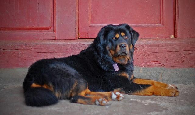 Dogue du Tibet top 10 grand chien