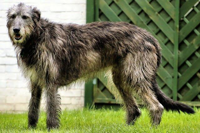 Levrier irlandais top 10 grand chien