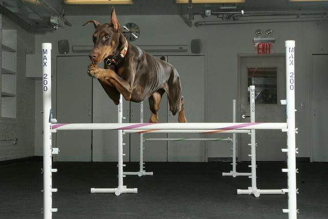 aptitudes agility doberman