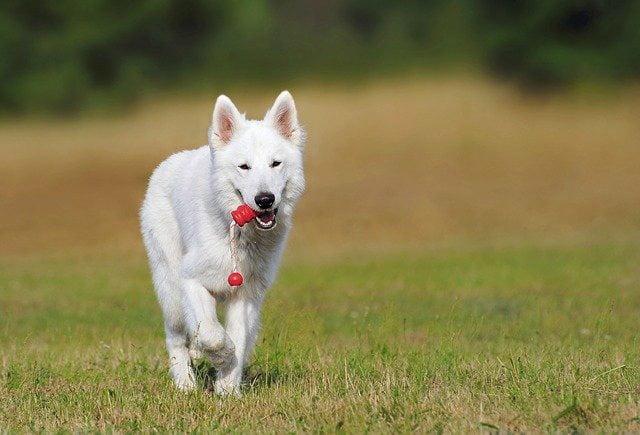 Berger Blanc Suisse top chien de berger