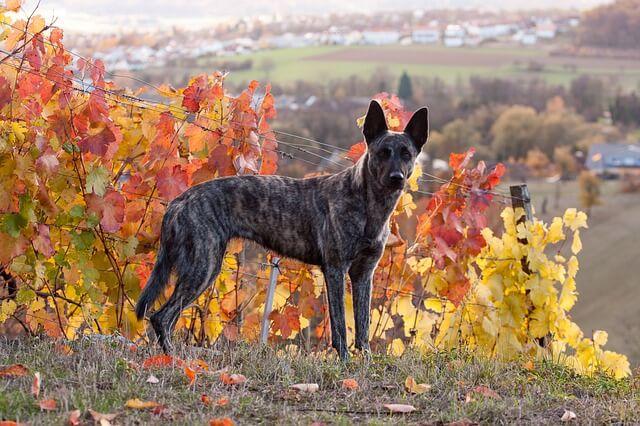 berger hollandais chien de berger