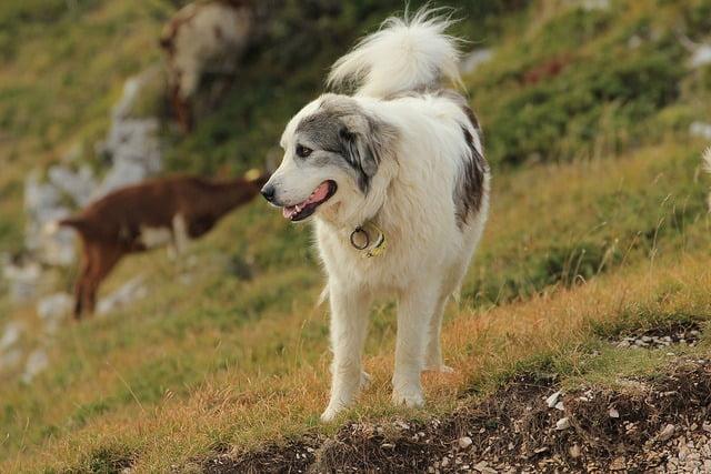 chien de montagne des pyrenees top 10 grand chien