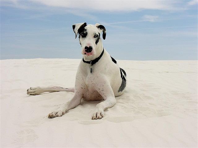 Top Top 10 des races de grand chien - Guide du chien MR89