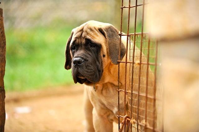 Mastiff top 10 grand chien