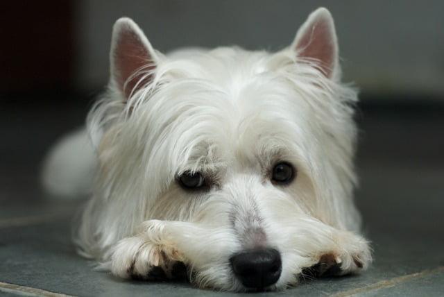 Le syndrome du chien trembleur