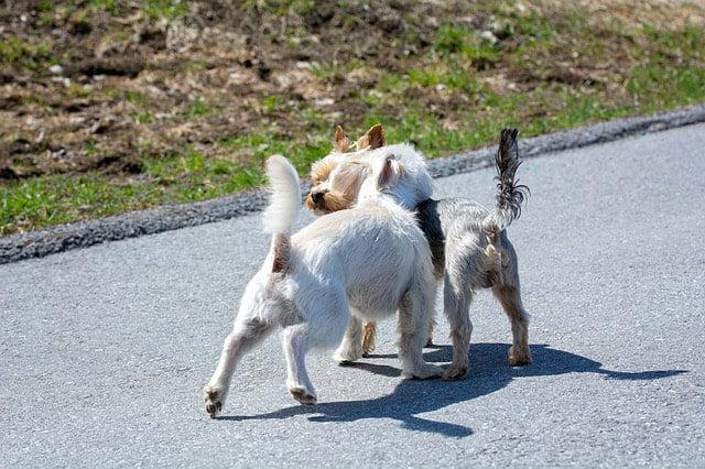 Bagarre durant promenade chien