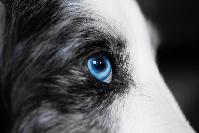 Vision du chien