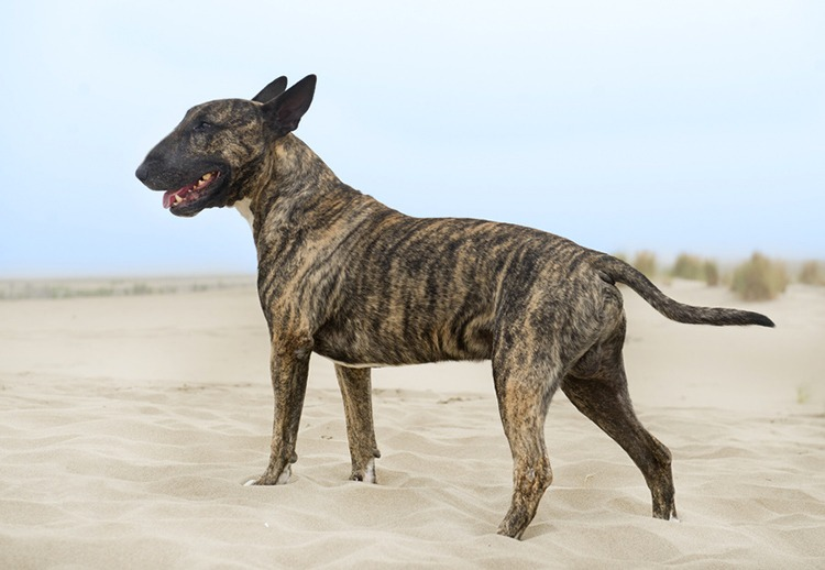 Caractéristiques physiques Bull Terrier