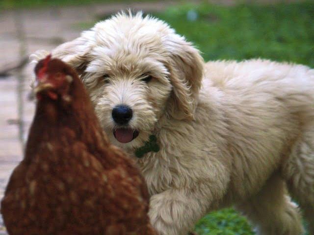 Chien qui chasse les poules