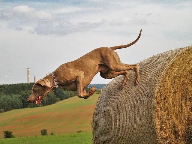 Braque de Weimar chien sportif