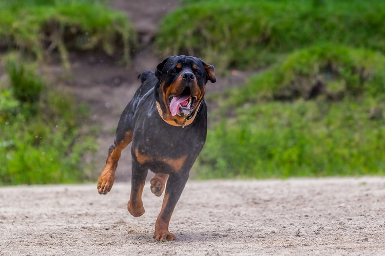 Conditions de vie Rottweiler