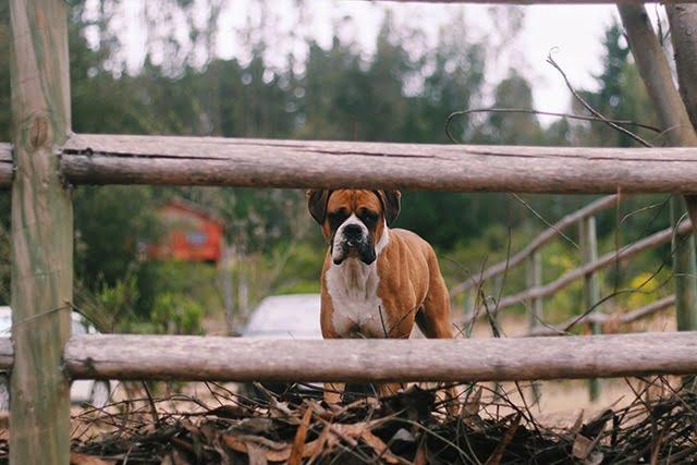 Boxer top 15 chien sportif