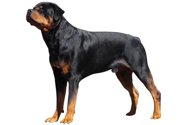 Caractéristiques physiques Rottweiler