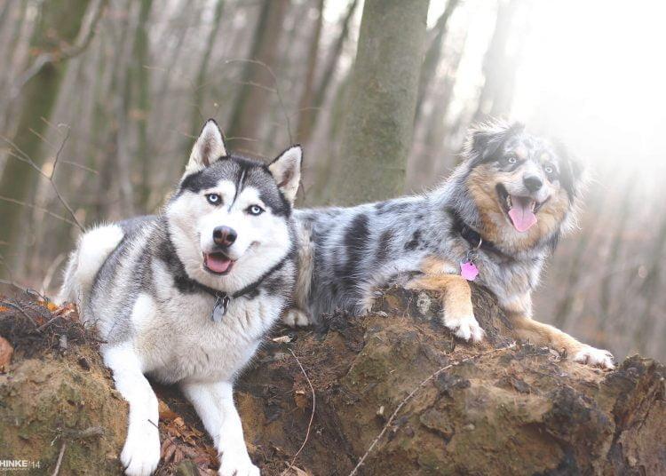Top 15 des races de chien sportif