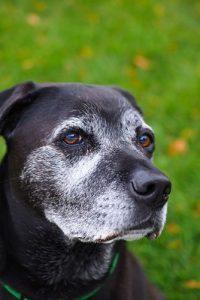 Les signes physiques du vieillissement du chien