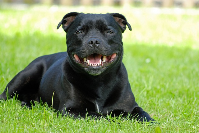 Staffordshire Bull Terrier Top-20 2017