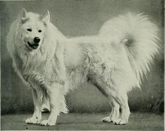 Un Samoyède en 1922