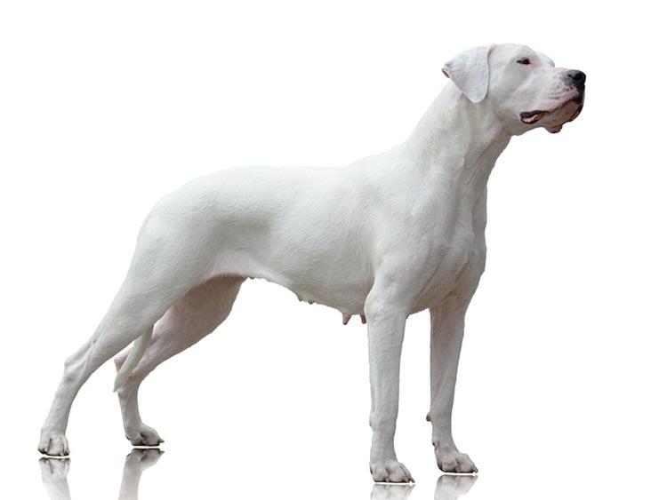Caractéristiques physiques Dogue Argentin