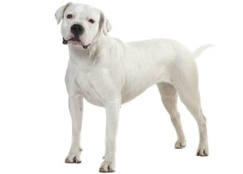Dogue Argentin