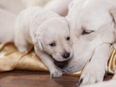 Gestation chez la chienne