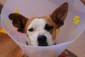 Traitements dermatite pyotraumatique chien