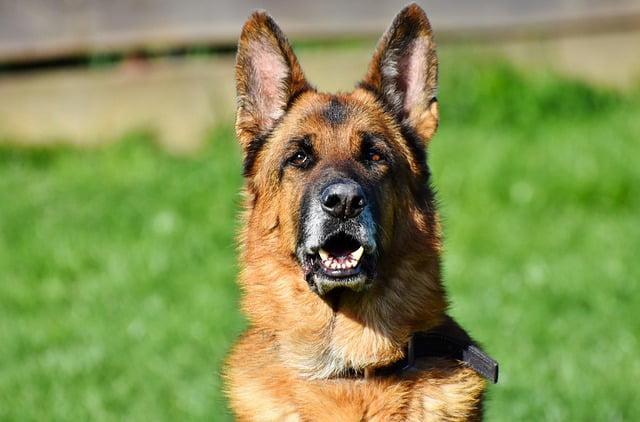 Berger Allemand top 10 chien de police