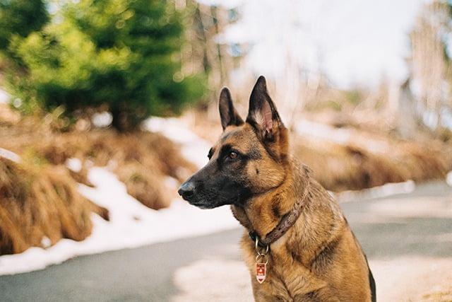Berger Belge top 10 chien policier