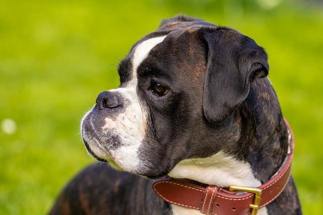 Boxer top 10 chiens policiers