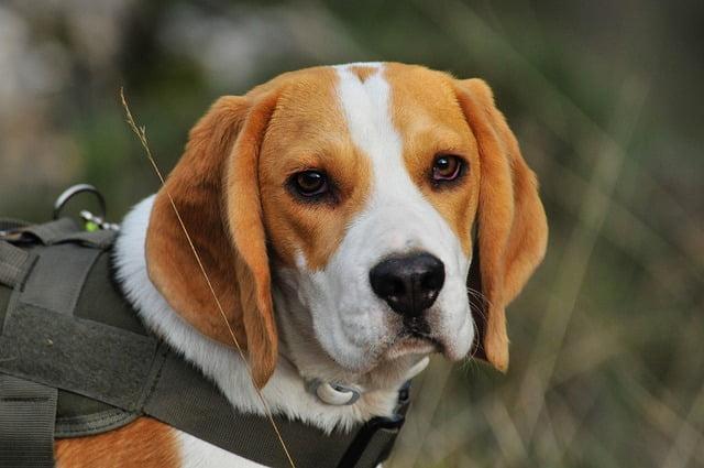 Beagle chien policier