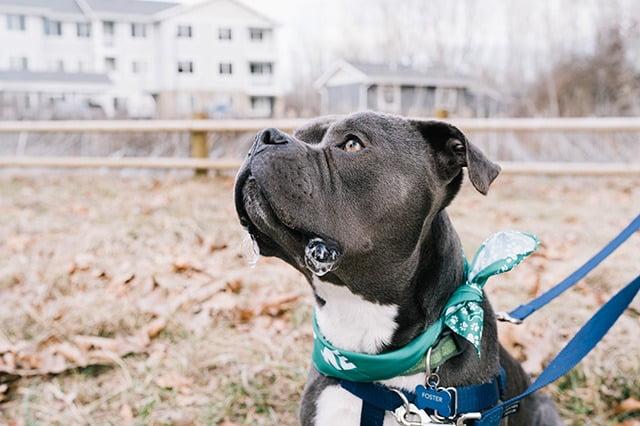 American Pit Bull Terrier chien policier