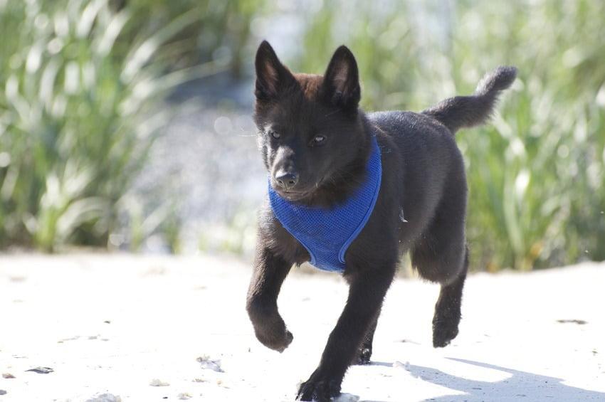 Kai chien japonais