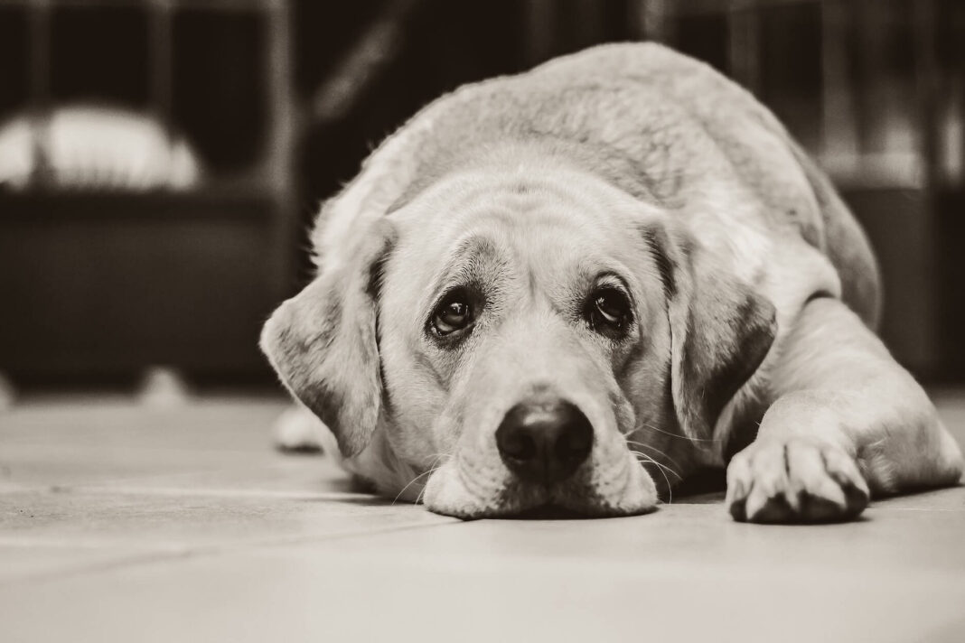 Top 10 des races de chien américain - Guide du Chien