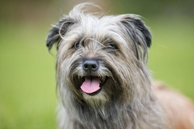 Berger des Pyrénées à poil long chien français