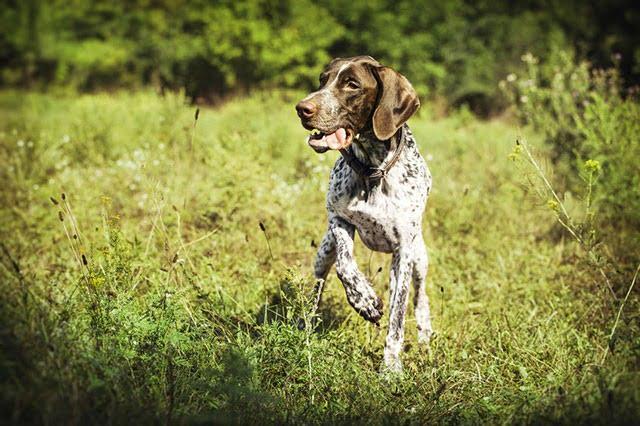 Braque Français chien