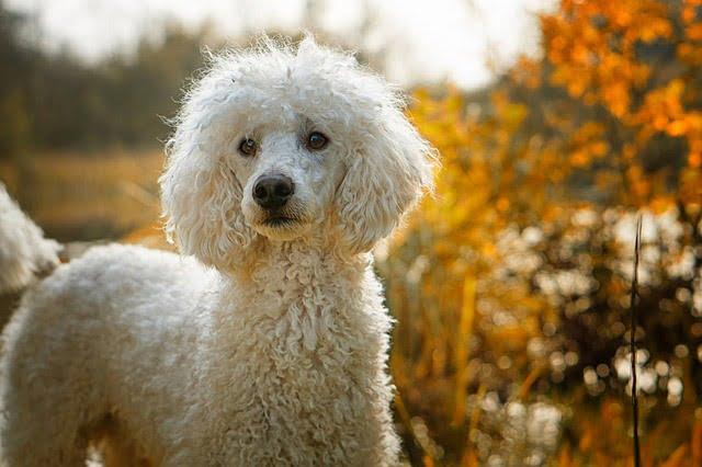 Caniche chien français