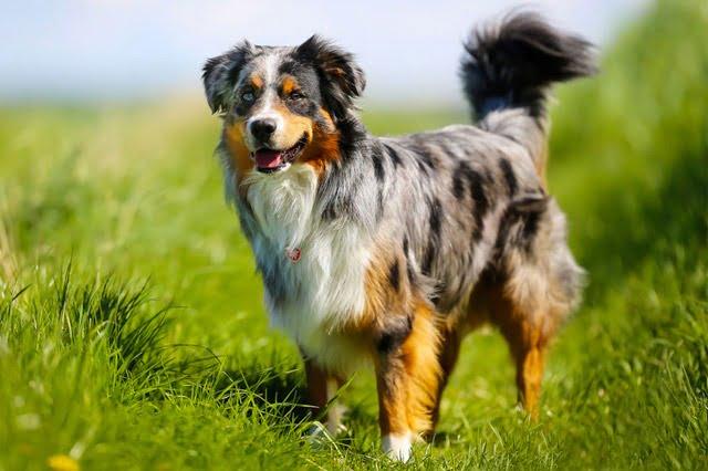 Berger Australien chien américain