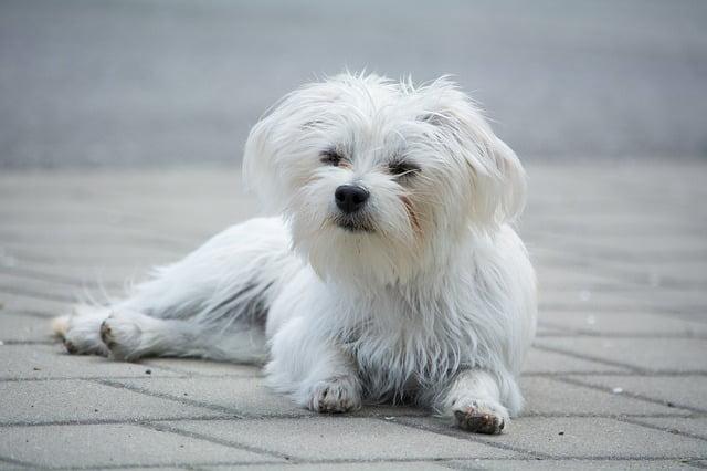 Bichon Maltais petit chien blanc