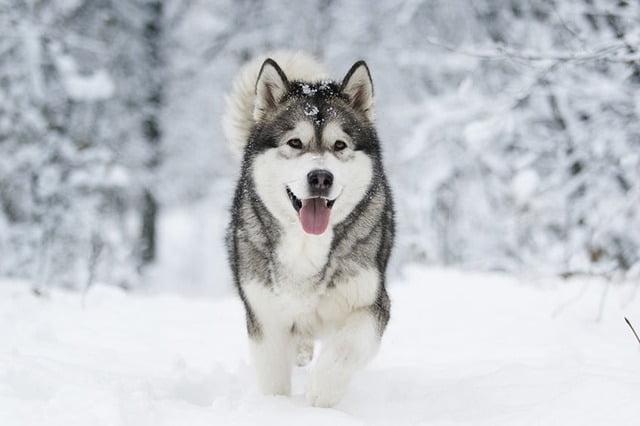 Malamute de l'Alaska chien américain