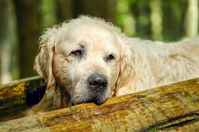 Comment soulager les vieux chiens