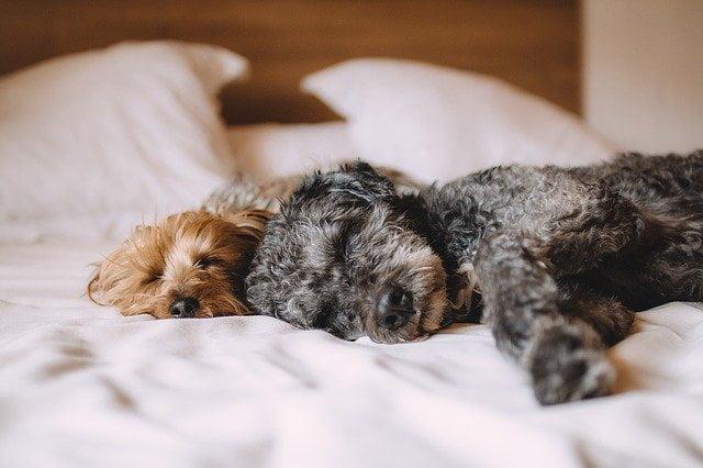 Les troubles du sommeil chez le chien