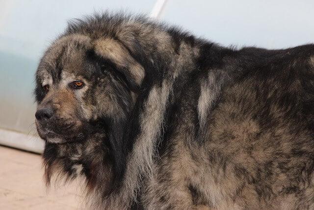 Berger du Caucase - chien russe
