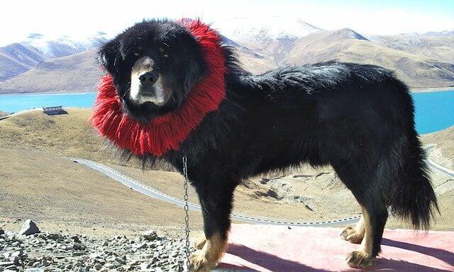 Dogue du Tibet gros chien chinois