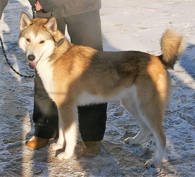 Laïka de Sibérie orientale