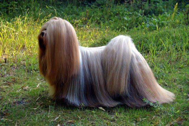 Lhassa Apso chien tibétain