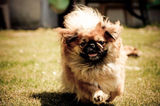 Pékinois chien sacré en Chine