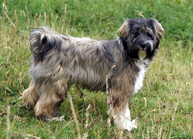 Terrier Tibétain race de chien chinois