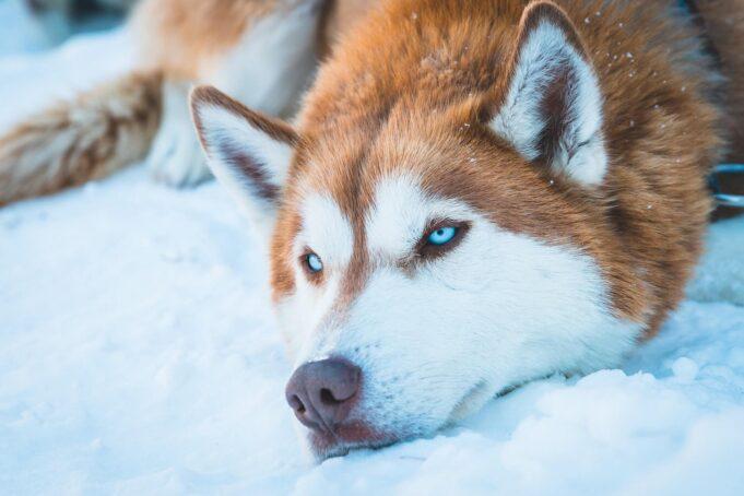 Top 10 des races de chien russe