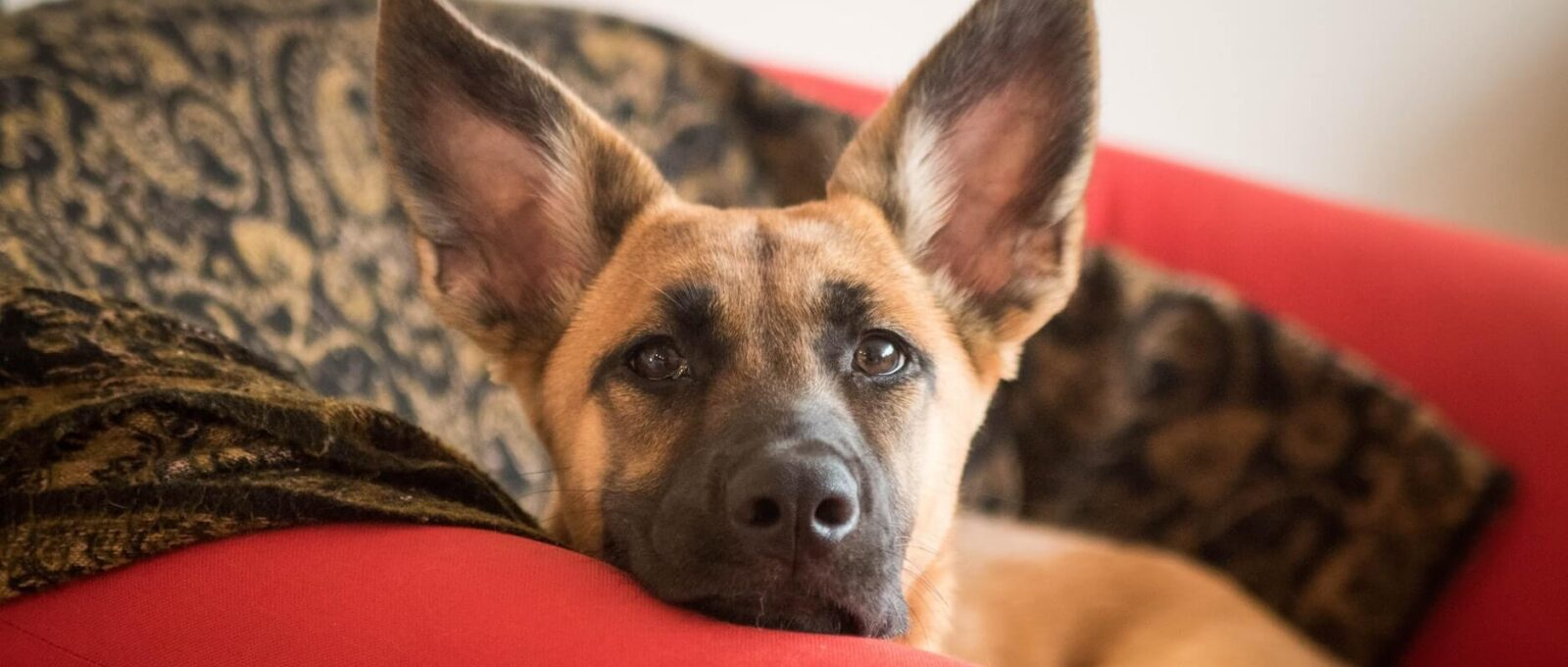 Paracétamol toxique pour les chiens