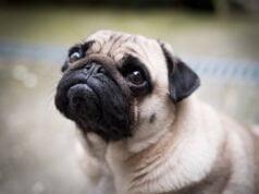 top 10 races de chien chinois